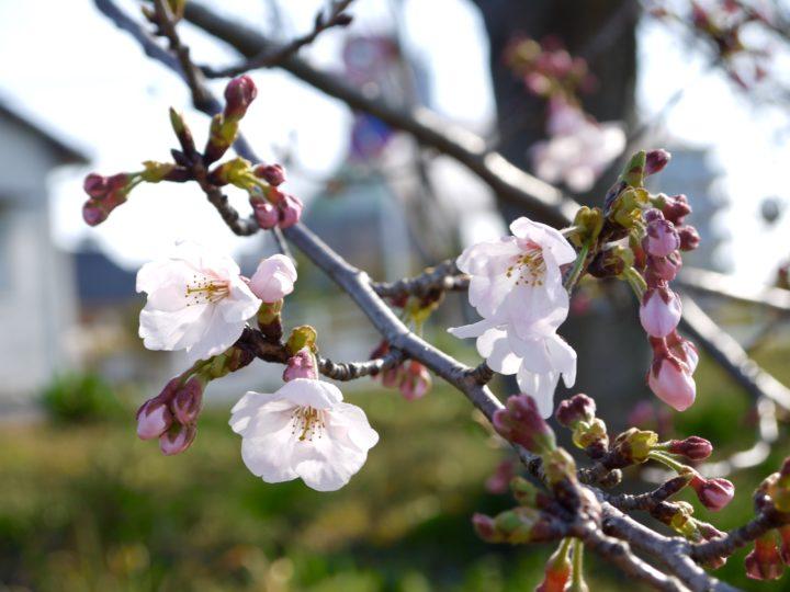今川沿いの桜はまだまだでした
