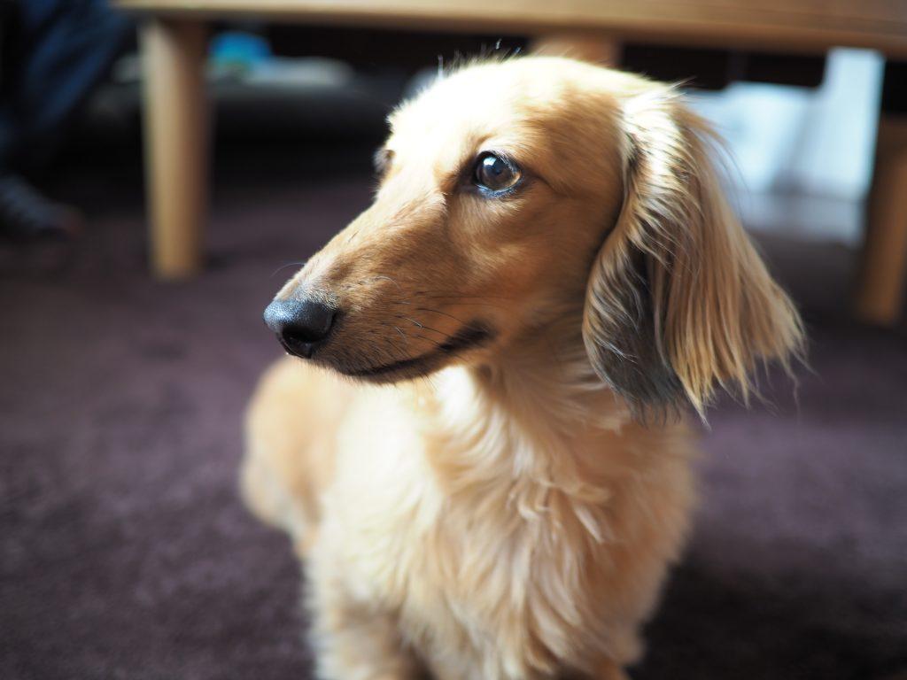 犬の6歳は頭がよくなる?