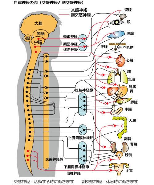 自律神経症状と背骨の関係