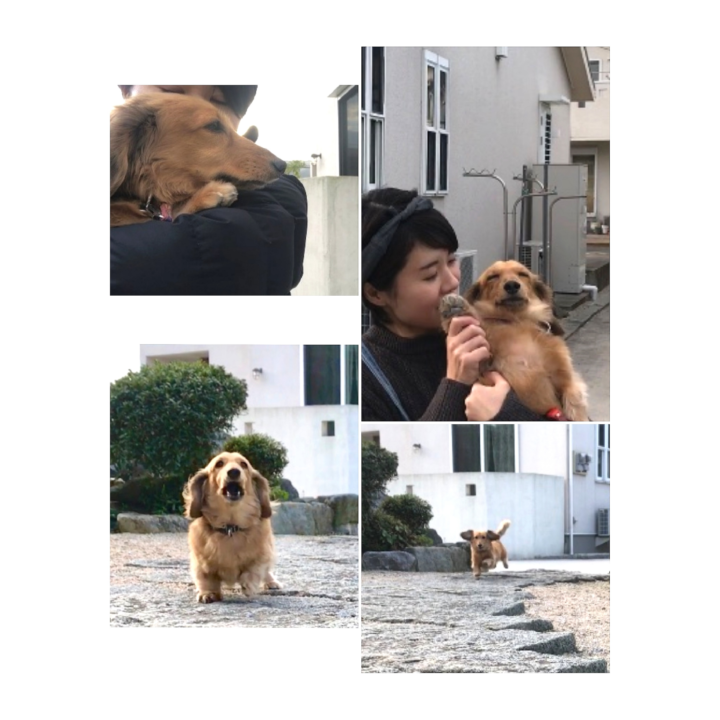 【動画作成第3弾】ダックスフントの散歩