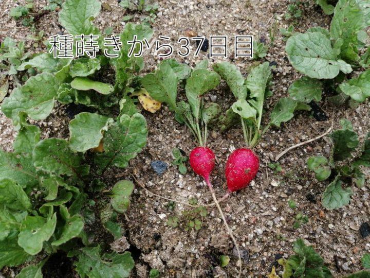 家庭菜園記録・初収穫