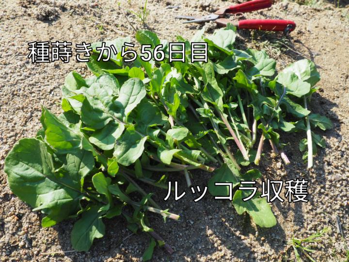 【家庭菜園記録】ルッコラ初収穫