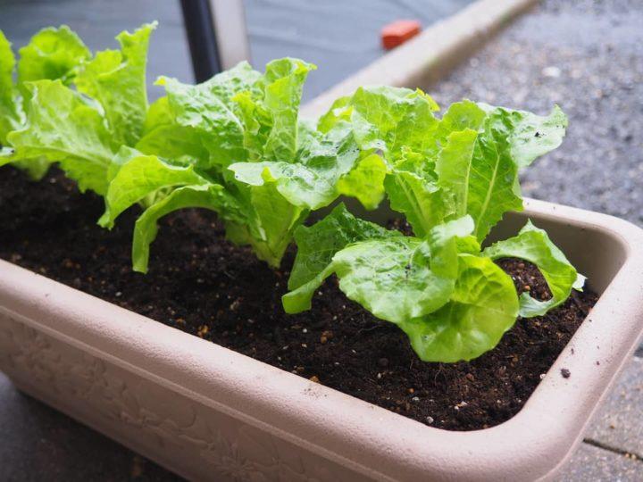 【家庭菜園記録】サンチュを植えました
